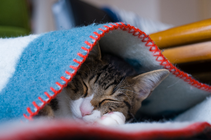 2017Animals___Cats_Gray_cat_sleeps_under_a_warm_blanket_118664_ (700x464, 340Kb)