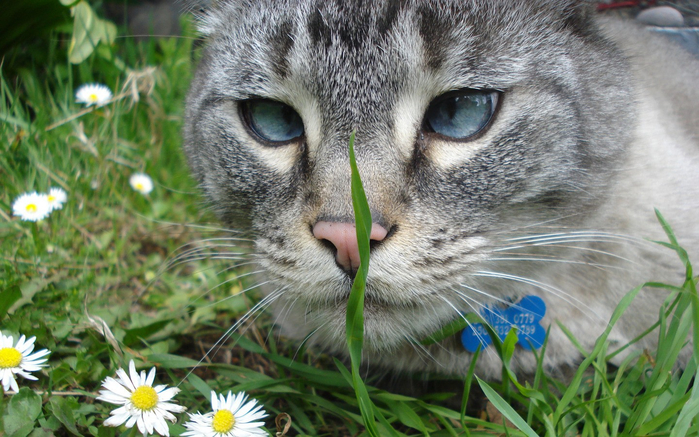 Animals___Cats_Grey_cat_looking_for_grass_050541_ (700x437, 414Kb)