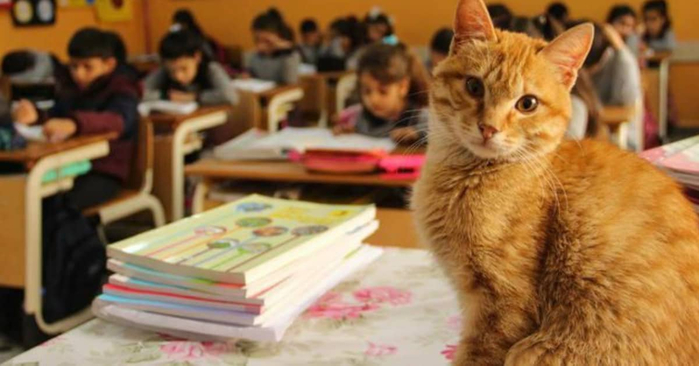 tombi-the-classroom-cat (700x366, 246Kb)