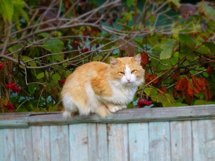 Cats_Fence_448552_1152x864 (700x525, 388Kb)