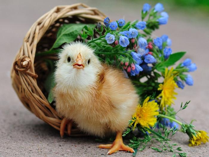 bird-chick-chick-basket-flowers-1024x768-wallpaper (700x525, 412Kb)