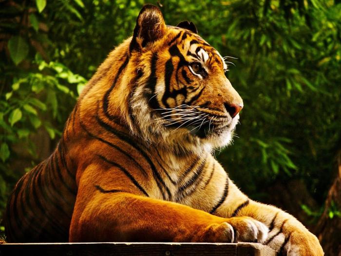 Royal-Bengal-Tiger-800x600 (700x525, 481Kb)