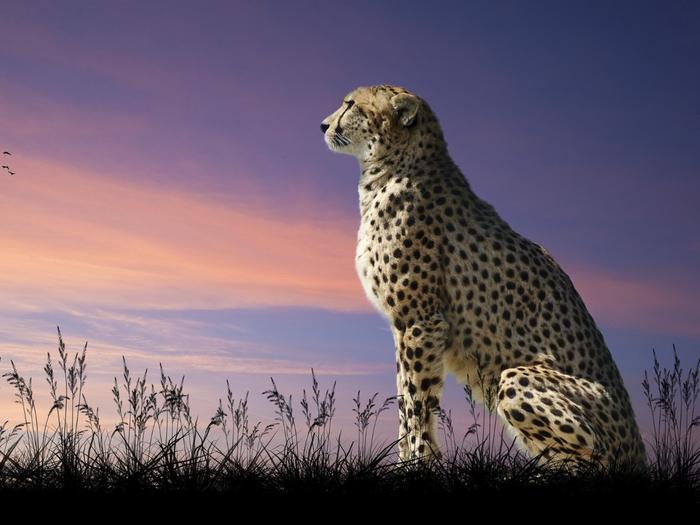 Cheetah-predator-grass-dusk-birds_1600x1200 (700x525, 303Kb)