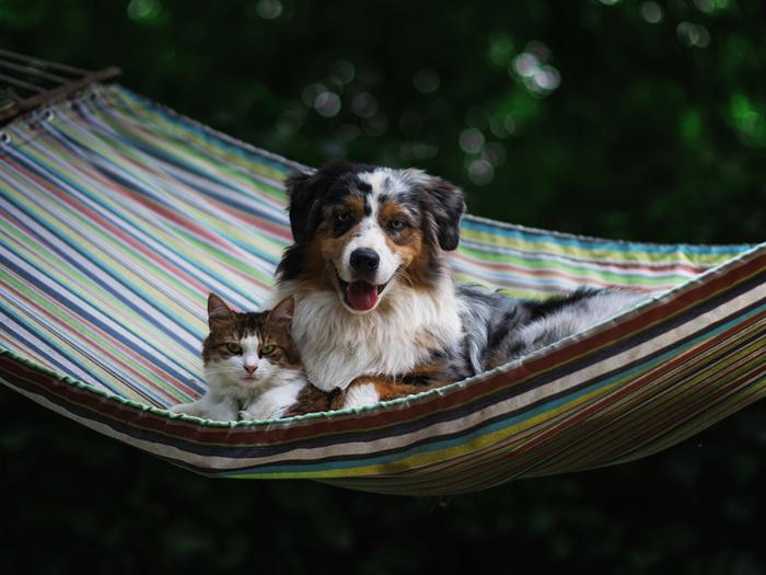 Dogs_Cats_Hammock_Australian_Shepherd_567078_1400x1050 (700x525, 338Kb)