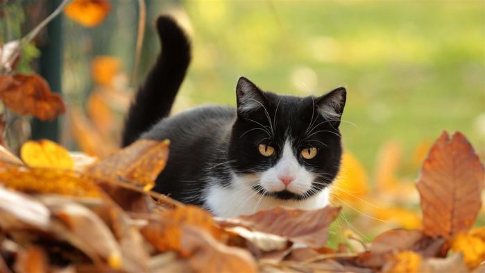Cute-kitten-black-and-white-yellow-foliage-autumn_1366x768 (700x393, 241Kb)
