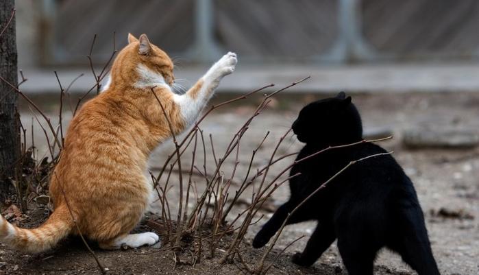 cat_fight (700x401, 245Kb)