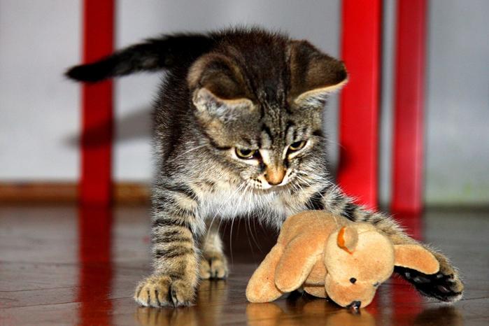 kitten_toy_tomcat_playing_pet_small-570963.jpgd_ (700x466, 354Kb)