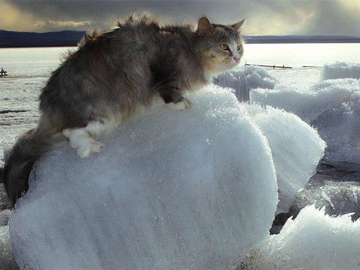 Кот-на-льдине... (700x525, 368Kb)