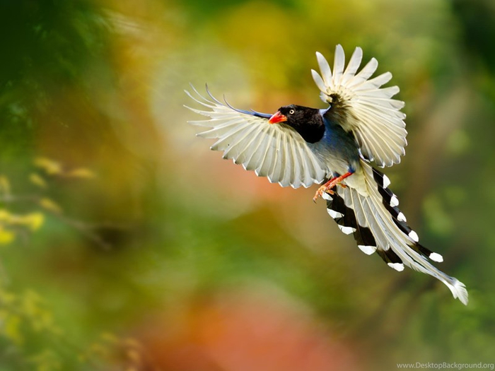 555474_birds-of-paradise-toonts_2048x1365_h (700x525, 270Kb)