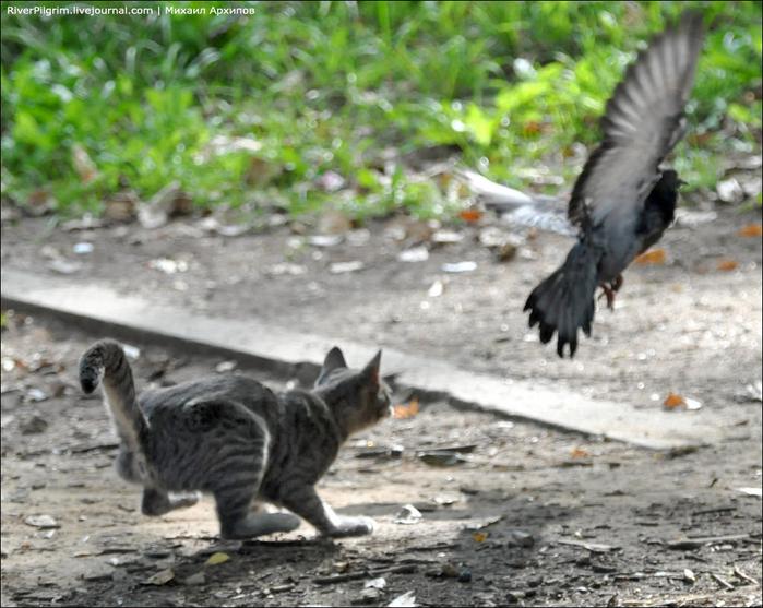 cat-vs-pigeon-05 (700x557, 413Kb)
