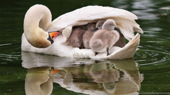 772359_littleswans-mom-wallpapers-photo-and-wallpaper-all-littleswans-mom_1440x900_h (700x393, 251Kb)