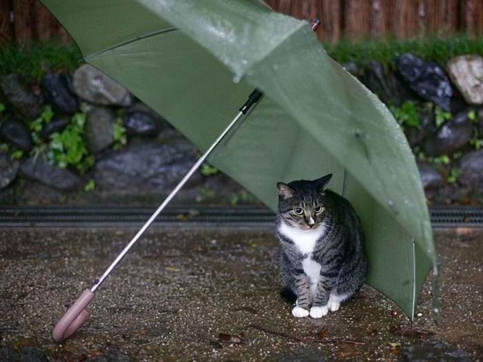 5efa3c061d64705ba3925a6aef973096--umbrellas-parasols-funny-cute-cats (700x525, 329Kb)