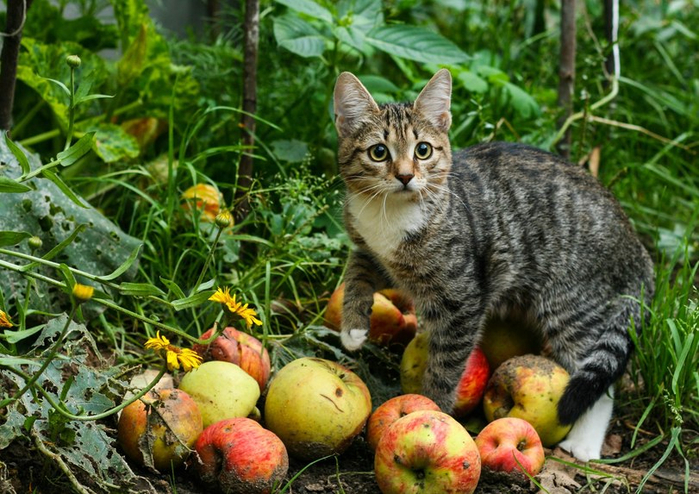 котейка-яблоки-кот-в-яблоках-2146051 (700x494, 465Kb)
