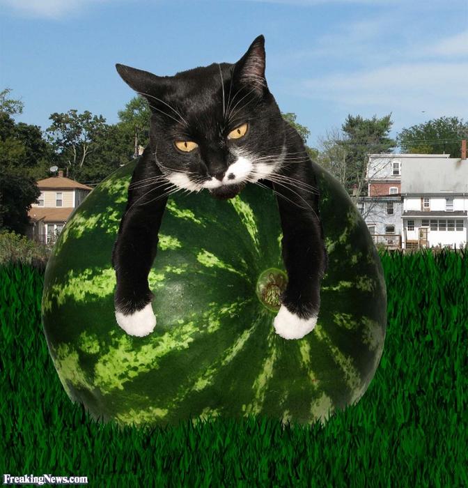 Cat-Resting-on-a-Watermelon--62566 (672x700, 527Kb)