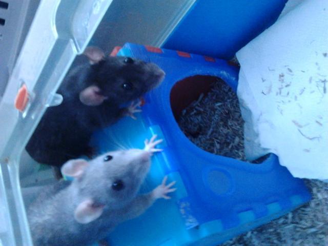[Adoptées] [Rongeurs en Destress] Claudine et Draculaura, 2 ratounes Photo0873-45c6f6a