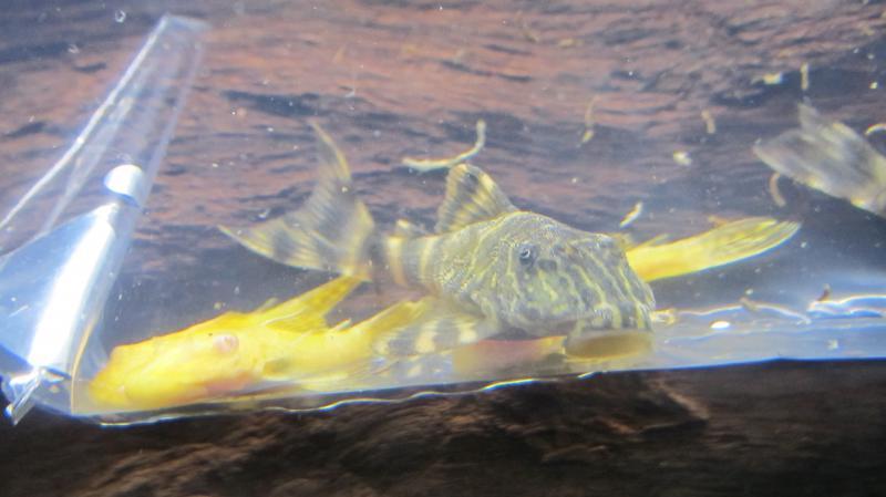 Création nouvel Aquarium amazonien 830 litres  - Page 7 Img_4445-4b75862