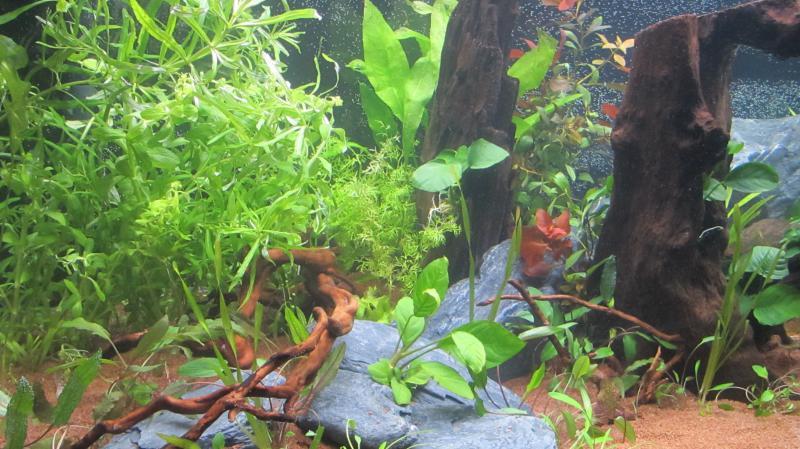 Création nouvel Aquarium amazonien 830 litres  - Page 9 Img_4528-4b9cf9d
