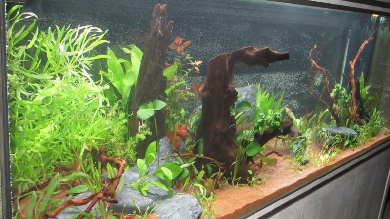 Création nouvel Aquarium amazonien 830 litres  - Page 9 Img_4524-4b9cf93