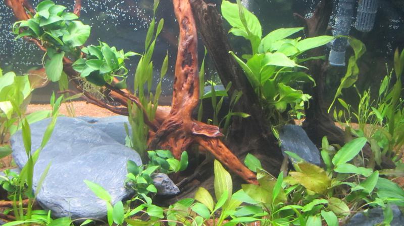 Création nouvel Aquarium amazonien 830 litres  - Page 9 Img_4535-4b9cfb3