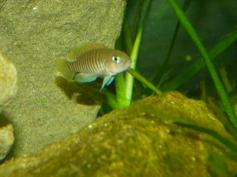 300L Tanga: Multi/cyprichromis - Page 2 P1020436-4c714b0