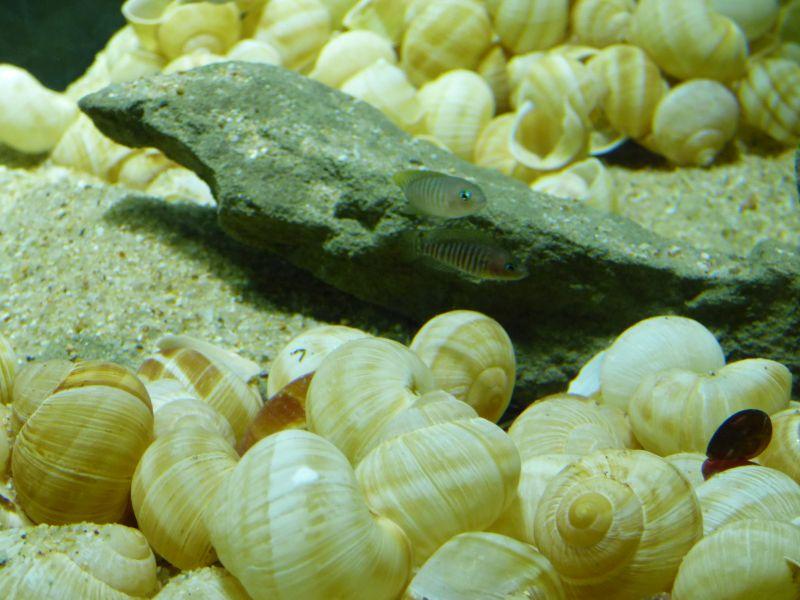 300L Tanga: Multi/cyprichromis - Page 2 P1010792-4c203ec