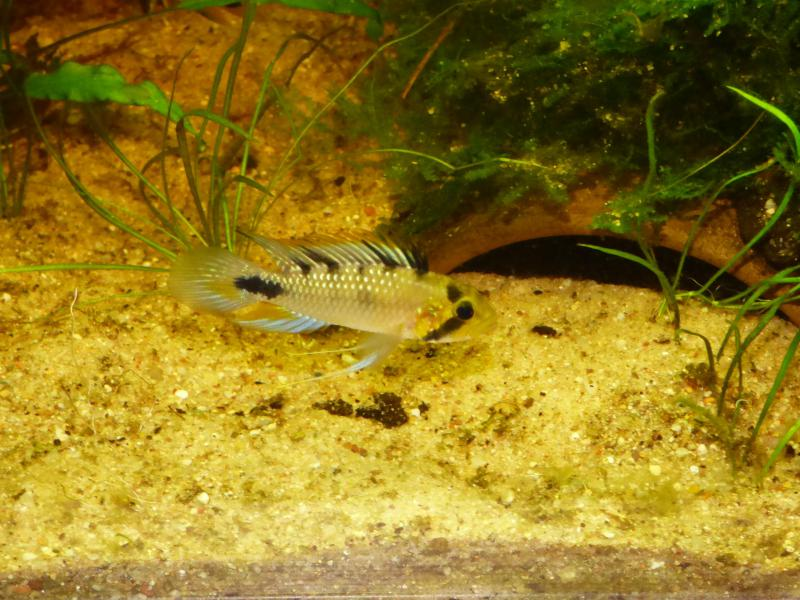 Apistogramma Rositae    ...LOW TEC - Page 3 P1010515-4be06be
