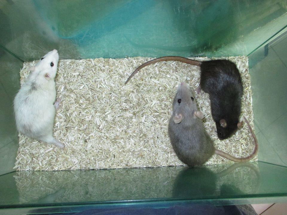 [Adoptées] [Rongeurs en Destress] Claudine et Draculaura, 2 ratounes 9-46f500f