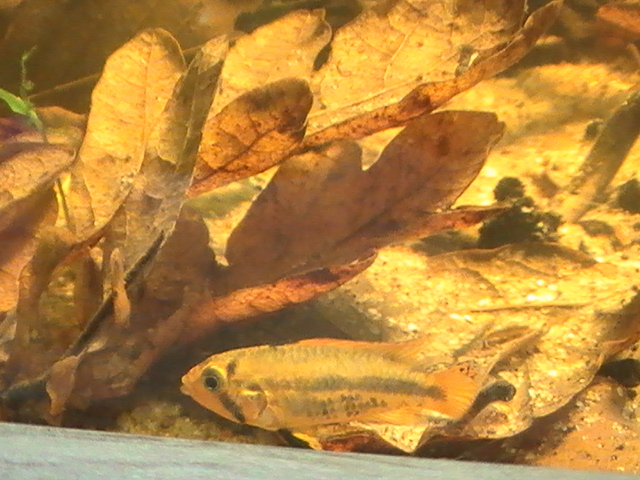 200l Apistogramma Cacatuoides - Page 2 15-09-14-3--47a5439