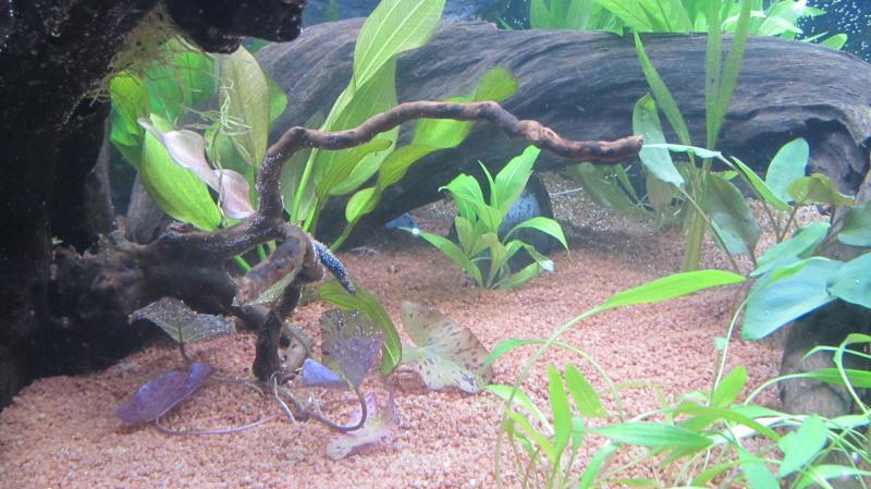 Création nouvel Aquarium amazonien 830 litres  - Page 9 Img_4534-4b9cfad