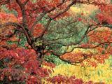 Wallpaperi Th_14825_Sassafras_in_Autumn7_Hoyt_Arboretum1_Portland5_Oregon_122_992lo