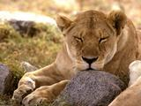 Lavovi Th_30055_African_Lion2_Serengeti9_Africa_122_1075lo