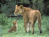 Lavovi Th_30054_African_Lion_Mother_with_Cub8_Moremi_Game_Reserve2_Okavango_Delta8_Botswana_122_1044lo
