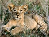 Lavovi Th_30053_African_Lion_Cub_Relaxing5_Africa_122_881lo