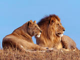 Lavovi Th_30065_African_Lions_122_1070lo