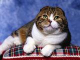 Mačke (hrana za mačke, najdraža pasmina mačaka, držanje mačke, kastriranje, slike mačaka..) Th_28243_Scottish_Fold_122_977lo