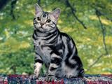 Mačke (hrana za mačke, najdraža pasmina mačaka, držanje mačke, kastriranje, slike mačaka..) Th_28250_Silver_Tabby_122_673lo