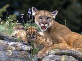 Lavovi Th_30192_Mountain_Lion_With_Cub_122_853lo