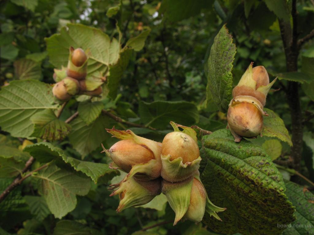 Клён-Лесной орех 3-skorlupa-gretskogo-oreha-lesnogo-oreha-fistashek