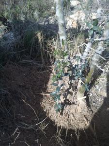 Mi primer olivo yamadori (ACTUALIZADO A VI/2018) Th_984621495_DSC_0062_122_255lo