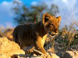 Lavovi Th_30044_African_Lion_Cub_122_979lo