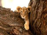 Lavovi Th_30041_A_Furry_Friend7_Lion_Cub_122_148lo