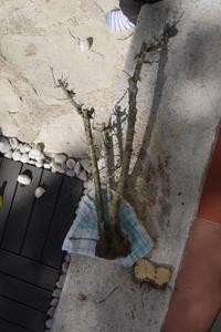 Mi primer olivo yamadori (ACTUALIZADO A VI/2018) Th_983120140_P1080568_122_213lo