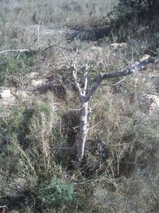 Mi primer olivo yamadori (ACTUALIZADO A VI/2018) Th_984594990_DSC_0058_122_389lo