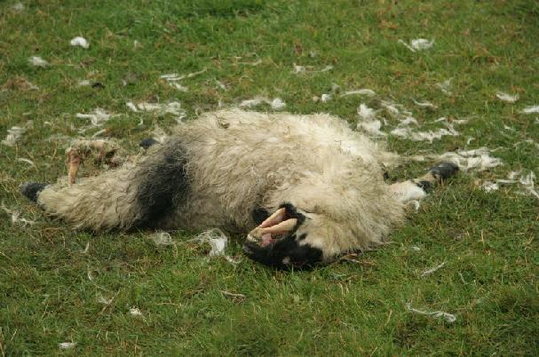 Mutilation de moutons à Shrewsbury Mute-mouton-gb-01e-1b34b71