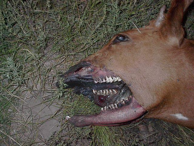 Mutilation d'un veau, 28.03.09 (Argentine) Mutes-2009-04--cfb42d