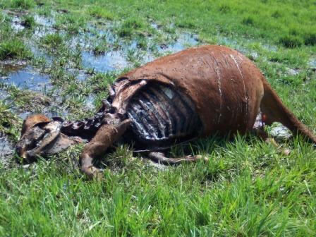 Encore des cas de mutilation animale. Mut-03-15d2ef9