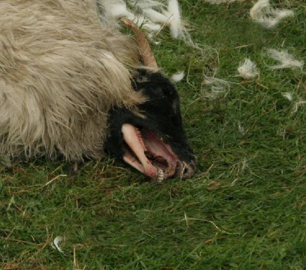 Mutilation de moutons à Shrewsbury Mute-mouton-gb-01b-1b34b46
