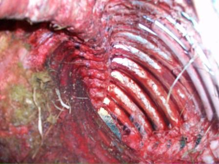 Encore des cas de mutilation animale. Mut-04-15d2f03