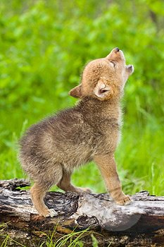 NEW CUB ON THE WAY! - Page 2 Wolf_Cub_Howling_%28Adorably%29