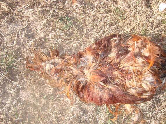 Argentine : Les mutilations de bétail en augmentation Poule-01-204a1b4